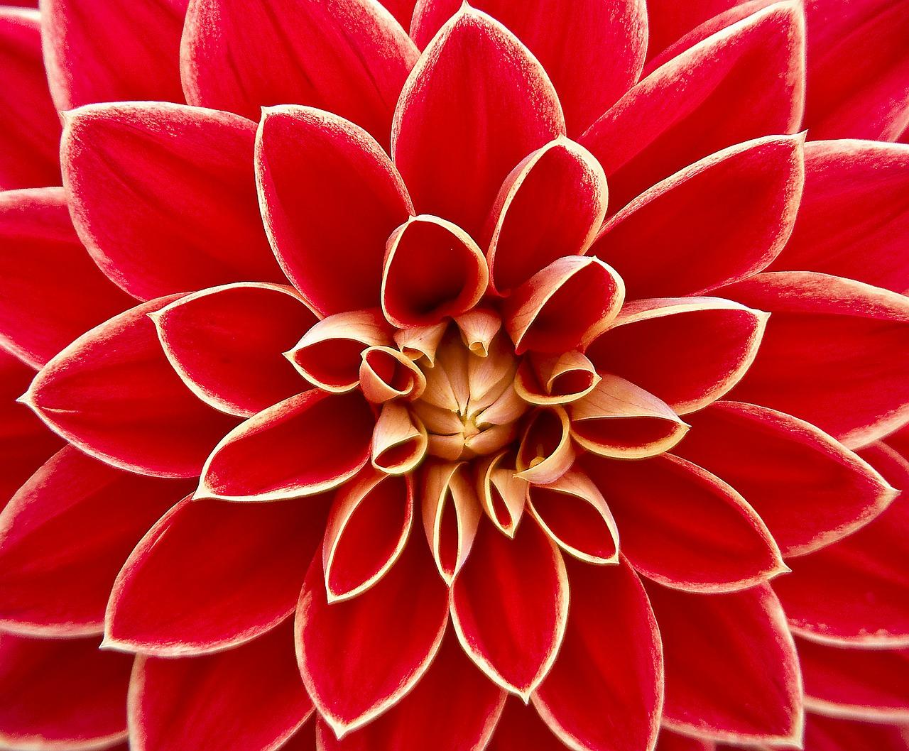 Dahlia_Flower